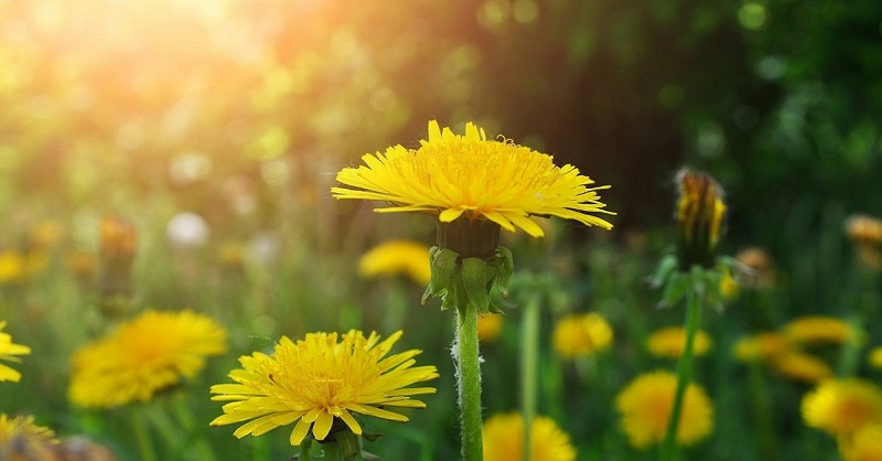 Самое многофункциональное лекарственное растение — одуванчик! Ты будешь удивлена.