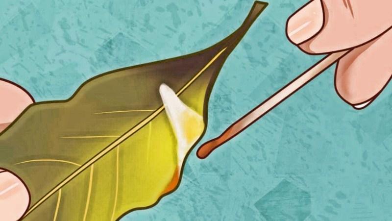 Снимает тревожность и укрепляет иммунитет: целительные свойства лаврового листа