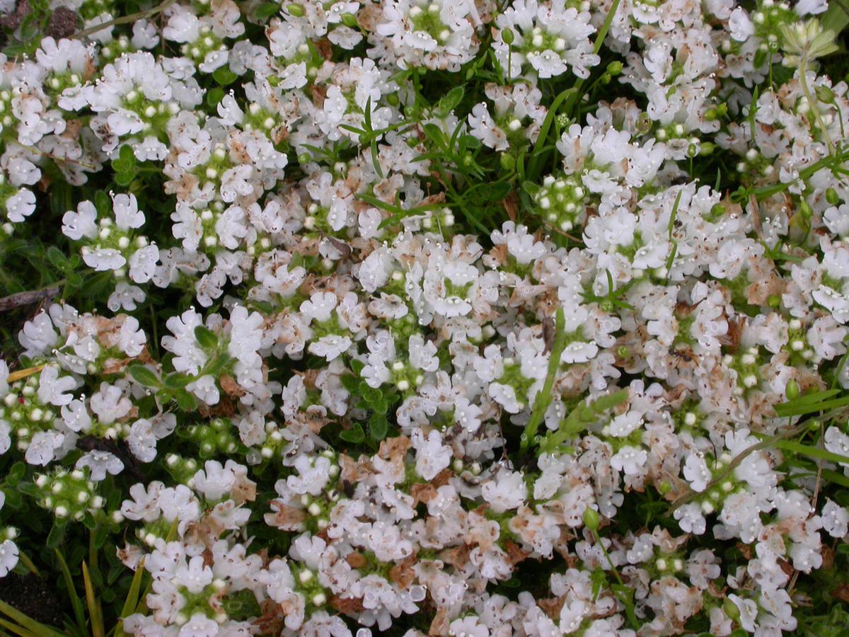 Тимьян в саду: виды и сорта, особенности выращивания