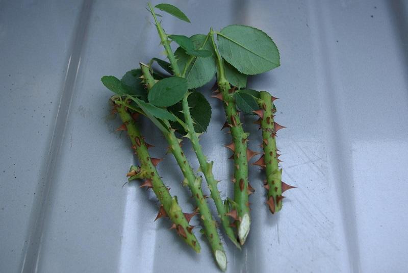 Сдаю рецепт маминой «Тройчатки» для проращивания роз. Самый легкий способ вырастить розу из букета.